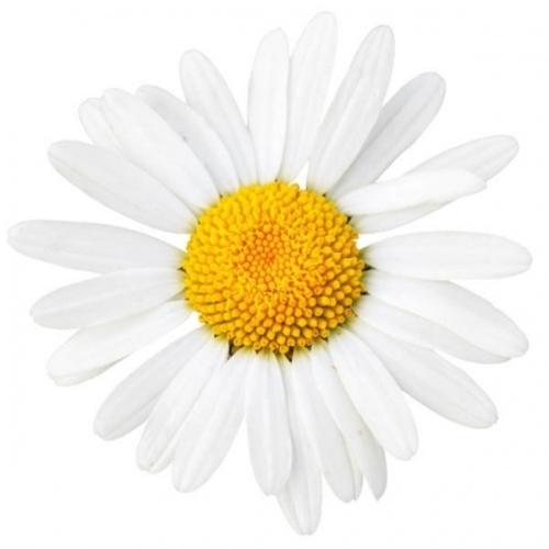 BIO Kamillenblüten (Matricaria chamomilla L.) (10g)