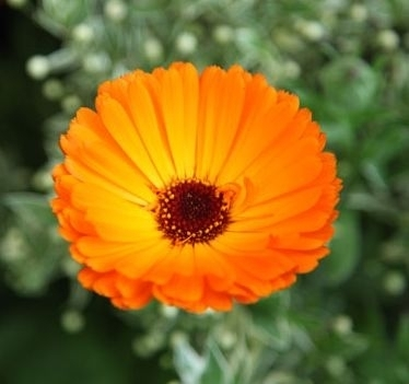 BIO Ringelblumenblüten (Calendulae flos) (10g)
