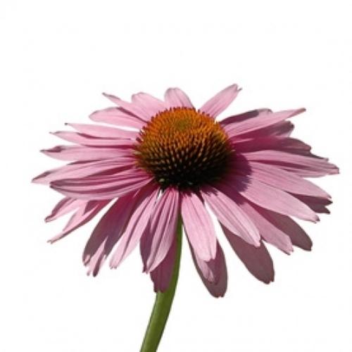 BIO Sonnenhutkraut (Echinacea purpurea L.) (10g)