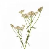 BIO Schafgarbe (Achillea millefolium) (10g)