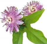 BIO Passionsblumenkraut  (Passiflora incarnata) (10g)